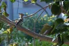 Το όμορφο λοφιοφόρο πουλί στη φύση Στοκ φωτογραφία με δικαίωμα ελεύθερης χρήσης