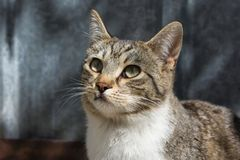 Το όμορφο περιπλανώμενο αγόρι γατών, κλείνει επάνω τη φωτογραφία στοκ εικόνα