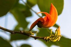 Το όμορφο πορτοκαλί λουλούδι και κίτρινος Στοκ Εικόνες