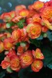Το όμορφο πορτοκαλί λουλούδι Στοκ φωτογραφία με δικαίωμα ελεύθερης χρήσης