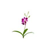 Το όμορφο πορφυρό λουλούδι ορχιδεών απομόνωσε το άσπρο υπόβαθρο, με το CL Στοκ Φωτογραφίες