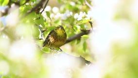 Το όμορφο πουλί άνοιξη μεταξύ των άσπρων λουλουδιών τραγουδά το τραγούδι άνοιξη απόθεμα βίντεο