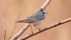 Το όμορφο πουλί άνοιξη τραγουδά μια συνεδρίαση τραγουδιού σε έναν κλάδο φιλμ μικρού μήκους