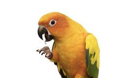 Το όμορφο πουλί παρουσιάζει νύχι στο άσπρο υπόβαθρο Στοκ Φωτογραφία