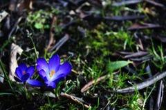 Το όμορφο πρώτο ελατήριο ανθίζει τους κρόκους στο άνθος στοκ φωτογραφία