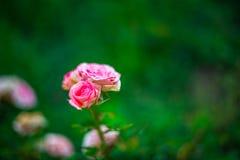 Το όμορφο ροδαλό λουλούδι με ένα πράσινο υπόβαθρο θαμπάδων Στοκ φωτογραφία με δικαίωμα ελεύθερης χρήσης