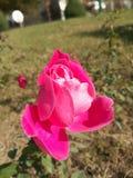 Το όμορφο ροδαλό λουλούδι του φθινοπώρου, που στέλνει ένα φύσημα του αρώματος στοκ φωτογραφία με δικαίωμα ελεύθερης χρήσης