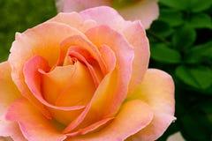 το όμορφο ροζ κήπων αυξήθηκε κιτρινωπός Στοκ Φωτογραφία
