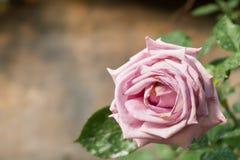 το όμορφο ροζ λουλουδ& Φυσικό υπόβαθρο χρώματος βαλεντίνος ημέρας s στοκ εικόνα