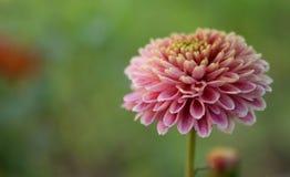 Το όμορφο ρόδινο λουλούδι με το υπόβαθρο Στοκ Φωτογραφία