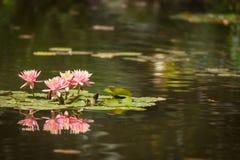 Το όμορφο ρόδινο Lotus ανθίζει τη λίμνη κρίνων Στοκ Εικόνες