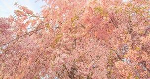 Το όμορφο ρόδινο άνθος κερασιών ανθίζει το δέντρο κατά τη διάρκεια της εποχής άνοιξης στην Ιαπωνία Στοκ φωτογραφία με δικαίωμα ελεύθερης χρήσης