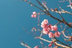 Το όμορφο ρόδινο άσπρο άνθος κερασιών ανθίζει τον κλάδο δέντρων στον κήπο με το μπλε ουρανό, Sakura φυσικό υπόβαθρο χειμερινής άν στοκ φωτογραφία