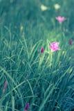 Το όμορφο ρόδινο λουλούδι στον κήπο και αισθάνεται το δροσερό ύφος Στοκ φωτογραφία με δικαίωμα ελεύθερης χρήσης