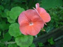 Το όμορφο ρόδινο λουλούδι Στοκ φωτογραφίες με δικαίωμα ελεύθερης χρήσης