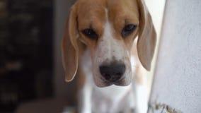 Το όμορφο σκυλί λαγωνικών κοιτάζει προσεκτικά και ακούει τον ιδιοκτήτη Πορτρέτο κινηματογραφήσεων σε πρώτο πλάνο, μαλακός ελαφρύς φιλμ μικρού μήκους
