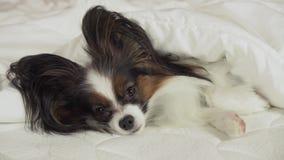 Το όμορφο σκυλί Papillon βρίσκεται κάτω από το κάλυμμα στο κρεβάτι και κοιτάζει γύρω από το βίντεο μήκους σε πόδηα αποθεμάτων φιλμ μικρού μήκους