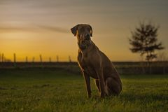 Το όμορφο σκυλί Rhodesian Ridheback κάθεται στο ηλιοβασίλεμα και φαίνεται προς τα εμπρός ήλιος κατεύθυνσης στοκ φωτογραφίες με δικαίωμα ελεύθερης χρήσης