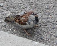το όμορφο σπουργίτι πουλιών κάθεται στην άσφαλτο Στοκ Φωτογραφία