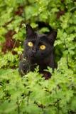 Το όμορφο χαριτωμένο μαύρο πορτρέτο γατών με τα κίτρινα μάτια και προσεκτικός κοιτάζει στην πράσινα χλόη και τα λουλούδια στη φύσ Στοκ φωτογραφία με δικαίωμα ελεύθερης χρήσης