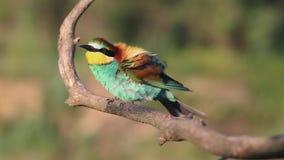Το όμορφο χρωματισμένο πουλί τραγουδά το τραγούδι άνοιξη φιλμ μικρού μήκους