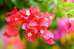 Το όμορφο Bougainvillea ανθίζει την άνθιση στον κήπο για το β Στοκ φωτογραφία με δικαίωμα ελεύθερης χρήσης