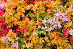 Το όμορφο Bougainvillea ανθίζει την άνθιση στον κήπο για Στοκ Εικόνα