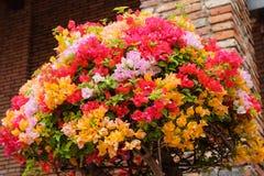 Το όμορφο Bougainvillea ανθίζει την άνθιση στον κήπο με Στοκ φωτογραφίες με δικαίωμα ελεύθερης χρήσης