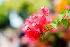 Το όμορφο Bougainvillea ανθίζει την άνθιση στον κήπο Στοκ Εικόνα