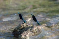 Το όμορφο damselfly Calopteryx splendens κάθεται σε μια πέτρα στα χτυπήματα ποταμών τα φτερά του στοκ εικόνα με δικαίωμα ελεύθερης χρήσης