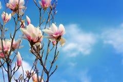 Το όμορφο magnolia ανθίζει την άνοιξη το υπόβαθρο μπλε ουρανού Στοκ Εικόνες