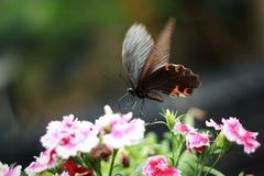 Το όμορφο papilio στοκ φωτογραφίες