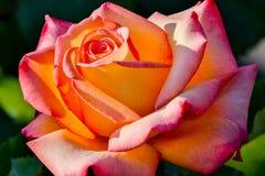 Το όνειρο πραγματοποιείται αυξήθηκε λουλούδι στον ήλιο Στοκ Εικόνες