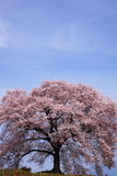 Wanitsuka κανένα sakura Στοκ φωτογραφία με δικαίωμα ελεύθερης χρήσης
