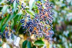 Το όρεγκον-σταφύλι aquifolium Mahonia ή το σταφύλι του Όρεγκον είναι ένα είδος ο Στοκ Εικόνες