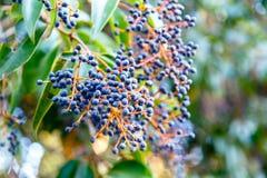 Το όρεγκον-σταφύλι aquifolium Mahonia ή το σταφύλι του Όρεγκον είναι ένα είδος ο Στοκ Φωτογραφίες