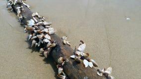 Το όστρακο θάλασσας συνδέεται επάνω την ακτή απόθεμα βίντεο
