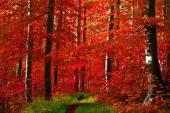 το δάσος αφήνει κόκκινος Στοκ Εικόνα