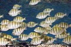 το acanthurus καταδικάζει το triostegus χειρούργων κοπαδιών ψαριών Στοκ Εικόνες