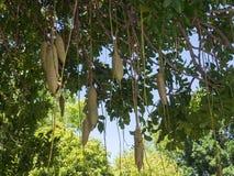"""Το africana """"δέντρο λουκάνικων """"ή Bignoniaceae Kigelia είναι μόνο ένα είδος, το οποίο εμφανίζεται σε όλη την τροπική Αφρική στοκ εικόνα με δικαίωμα ελεύθερης χρήσης"""