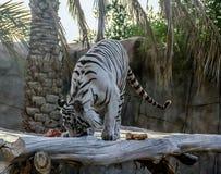 Το Al Ain, Ηνωμένα Αραβικά Εμιράτα - 04/12/2019 - όμορφη άσπρη τίγρη της Βεγγάλη στοκ εικόνες