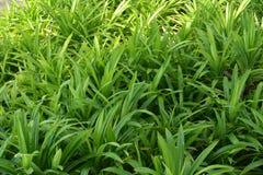 Το amaryllifolius Pandanus έρχεται στον κήπο στοκ φωτογραφία