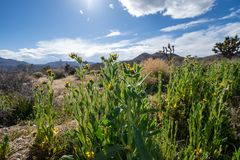 Το Amsinckia grandiflora είναι ένα είδος fiddleneck wildflower Λήφθείτε στο εθνικό πάρκο δ στοκ εικόνες με δικαίωμα ελεύθερης χρήσης