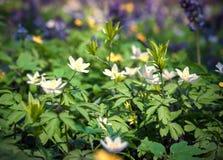 Το anemone άνθισης ανθίζει την άνοιξη το δάσος Στοκ Εικόνα