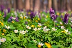 Το anemone άνθισης ανθίζει την άνοιξη το δάσος Στοκ εικόνα με δικαίωμα ελεύθερης χρήσης