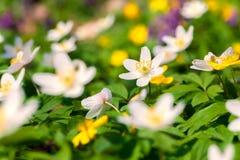 Το anemone άνθισης ανθίζει την άνοιξη το δάσος Στοκ Φωτογραφίες