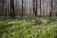 το anemone ακμάζει το δάσος Στοκ Φωτογραφία