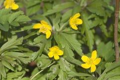 το anemone ανθίζει κίτρινο Στοκ Φωτογραφίες