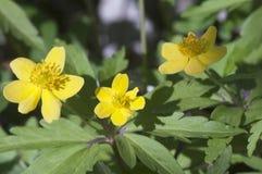 το anemone ανθίζει κίτρινο Στοκ φωτογραφίες με δικαίωμα ελεύθερης χρήσης