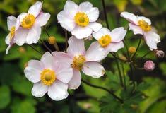 το anemone ανθίζει τα ιαπωνικά Στοκ εικόνες με δικαίωμα ελεύθερης χρήσης